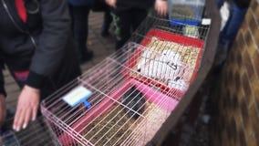 En grå chinchilla och många vita kaniner sitter i metallburar En silvrig chinchilla och mycket ljusa kaniner är i järn stock video