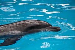 En grå delfin i blått vatten Royaltyfria Foton