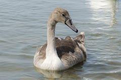 En grå färg behandla som ett barn svanen på sjön Arkivbild