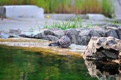 En grå färgduva badar i en vattenspringbrunn på en solig dag Arkivbilder