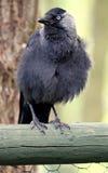 En grå fågel som sätta sig - alikan, Corvusmonedula Royaltyfri Foto