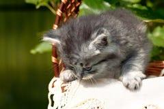 En grå fluffig katt i en korg royaltyfria foton