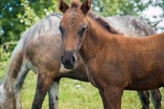En grå häst med ett föl är lätt att beta nära byn Royaltyfri Bild