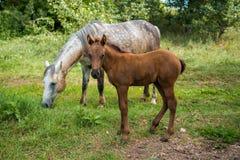 En grå häst med ett föl är lätt att beta nära byn Arkivfoton