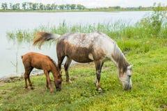 En grå häst med ett ungt föl som betar i stillhet nära dammet Arkivbilder