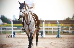 En grå häst med en ryttare i sadeln promenerar fältet för konkurrenser, i att hoppa royaltyfri bild