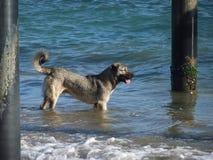 En grå hund står i havsvatten Arkivbilder