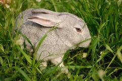 En grå kanin i gräset Arkivfoton