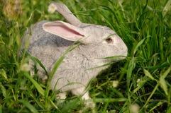En grå kanin i gräset Royaltyfria Bilder