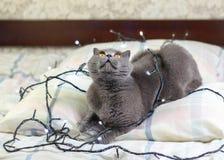 En grå katt som lägger på sängen Royaltyfria Bilder