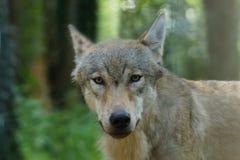 En grå varg ser kameran Royaltyfri Fotografi