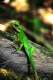 En grön ödla Arkivbilder