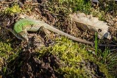 En grön ödla i hans livsmiljö Royaltyfria Foton