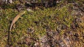 En grön ödla i hans naturliga miljö Arkivfoton