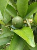 En grön apelsin på en filial Royaltyfri Foto