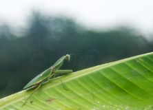 En grön bönsyrsa som ber på bananbladet royaltyfria foton