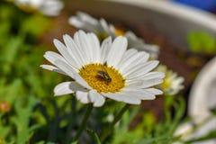 En grön fluga besöker en vit och gul tusensköna i en grupp av vildblommor fotografering för bildbyråer