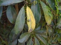 En grön fluga på gröna sidor av ett träd royaltyfri fotografi