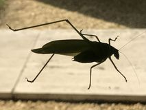 En grön gräshoppa Royaltyfria Foton