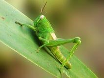 En grön gräshoppa på ett Liliumblad Arkivbild