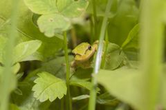 En grön groda döljer i gräset royaltyfri foto