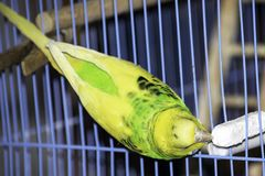 En grön krabb papegoja sitter i en bur royaltyfria foton