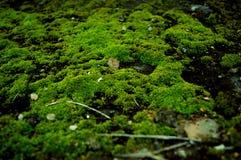 En grön mossatillväxt Arkivfoton