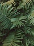 En grön ormbunke i mörkt omge för skog royaltyfria foton