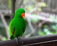 En grön papegoja Royaltyfria Bilder