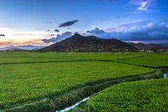 En grön risfält på skymning arkivfoton