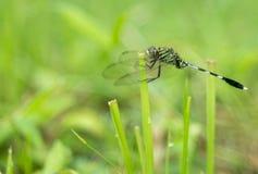En grön slända på för snitt gräs av royaltyfri foto