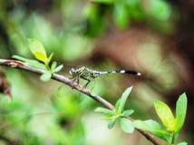 En grön slända på krökt trädfilial arkivfoto