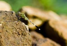 En grön slända som tycker om solljus på för att vagga royaltyfri bild
