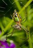 En grön trädgårds- spindel Arkivbilder