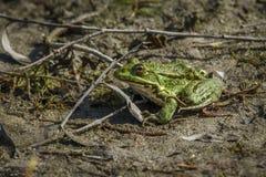 En grön träskpadda Arkivbild