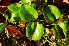 En grön växt med rundade sidor, en lek av ljus och skugga royaltyfria foton