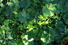 En grön växt med rundade sidor, en lek av ljus och skugga fotografering för bildbyråer