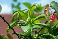 En grön växt som har sjukdomen som ut visar genom att ha att förvrida eller royaltyfri foto