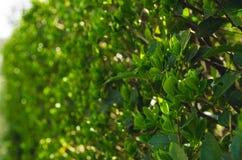 En gröna Bush på en Sunny Spring Day fotografering för bildbyråer