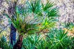 En grönaktig och lövrik palmliljaväxt i Orlando, Florida royaltyfria foton