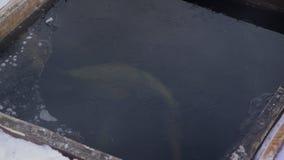 En granja de la trucha la abertura debajo de los pescados del hielo nada el invierno metrajes