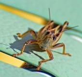 En Grashopper med ett leende!! Arkivbilder