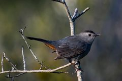 En Gray Catbird på en Gray Morning arkivfoton