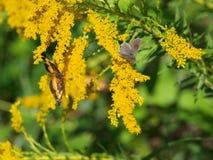 En Gray Moth Shares en Goldenrod växt Arkivbilder