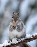 En Gray Squirrel Holding en mutter Arkivfoton