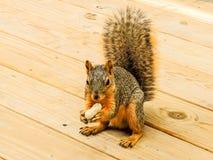 En Gray Squirrel som äter en jordnöt Arkivbild