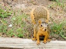 En Gray Squirrel som söker efter mat Arkivbild