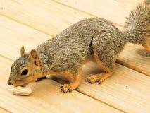 En Gray Squirrel som upp väljer en jordnöt Royaltyfri Bild