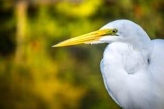 En Great White ägretthäger i Orlando, Florida fotografering för bildbyråer