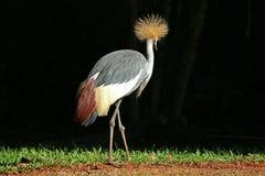 En Grey Crowned Crane Bird Relaxing i solljuset, Foz gör Iguacu, Brasilien, Sydamerika arkivbild